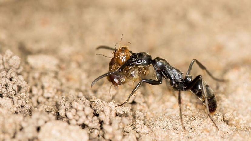 ants, termites