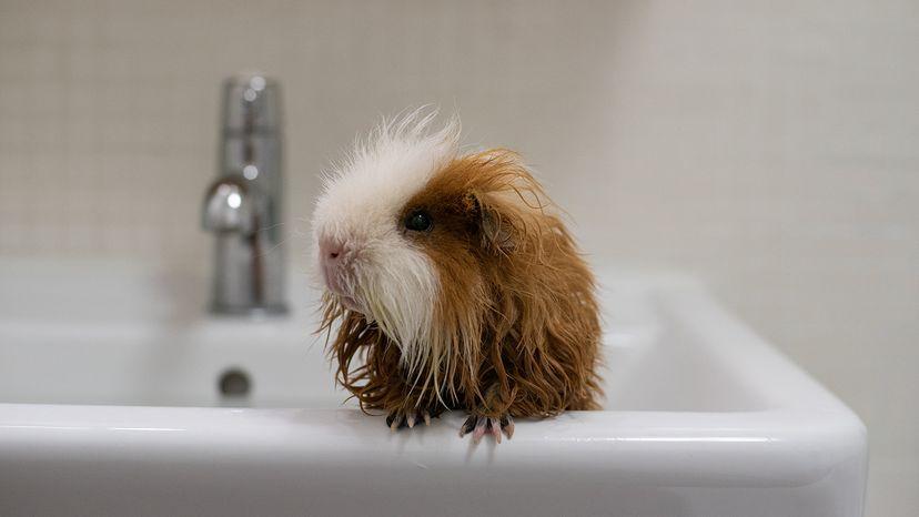 Guinea pig in bath tub