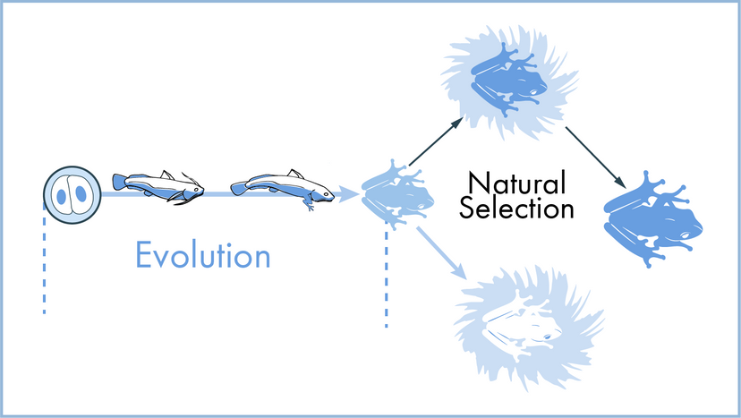 Evolution and natural selection illustration