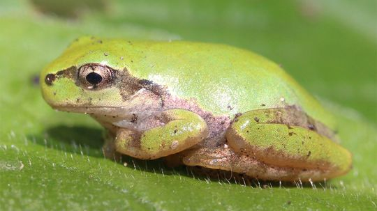 Frogs Can't Vomit, So They Eject Their Entire Stomachs