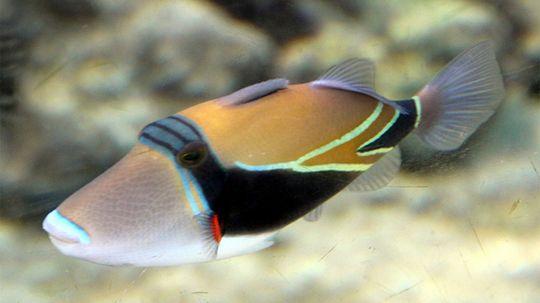 Humuhumunukunukuapua'a: A Long Name for a Little Fish