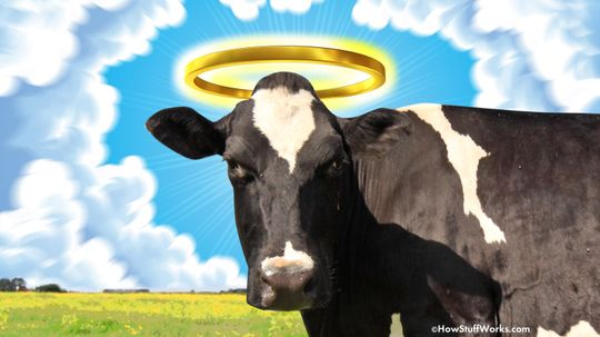 Why Do We Say 'Holy Cow'?