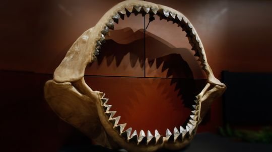 How Megalodon Worked