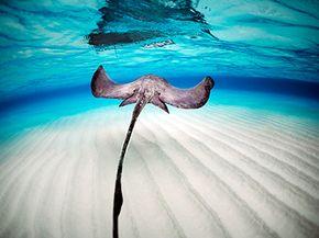 Stingray swimming in the sea