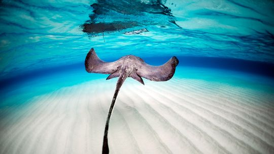 Is a Dead Stingray's Sting Still Lethal?