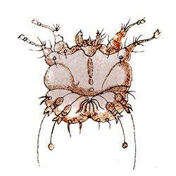 Sarcoptes scabiei illustration