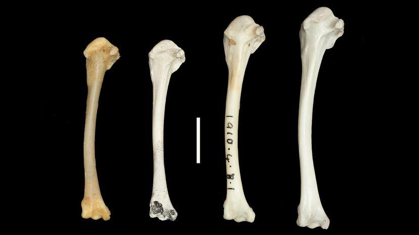wing bones of Dryolimnas