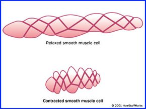 Smooth muscle plays a key role in every erection.