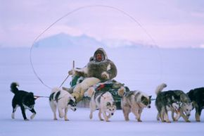 While they have been replaced by snowmobiles and aircraft for many uses, dogsleds are still useful for navigating rugged, snowy terrain. Above, an Inuit hunter drives his sled on a hunt. See more pictures of dogs.