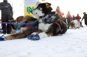 Sled dogs take a break from the Yukon Quest 1000 Mile International Sled Dog Race