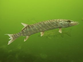 Juvenile from the pike family, Muskie's are a relatively common freshwater North American fish.