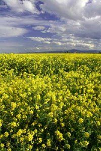 Mustard plants are grown commercially but also grow wild. See more pictures of mustard and mustard recipes.