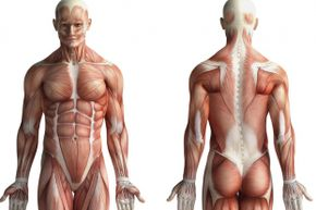 Muscle and fat are different types of tissue —one can't morph into the other.