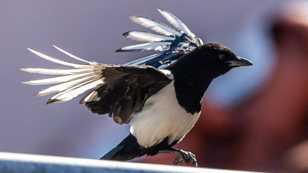 Why You Should Love the Much-maligned Magpie