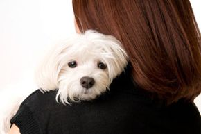 The Maltese is a snuggler.