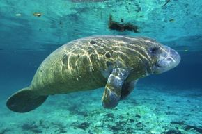 Manatees are beautiful, graceful creatures, but can they ever toe-to-toe with the mystique of mermaids?