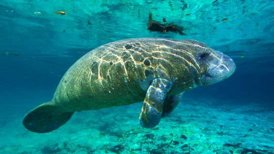 Are manatees really responsible for mermaid myths?