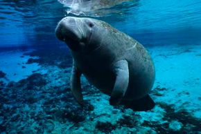 Manatees are around 10 feet (3 meters) long and weigh 1,000 pounds (453 kilograms). However, their eyes are only 0.7 inches (2 centimeters) in diameter. See more pictures of marine mammals.