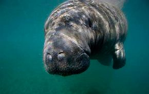 Manatees don't see well, but their specialized whiskers, called vibrissae, make up a sixth sense that helps them navigate.