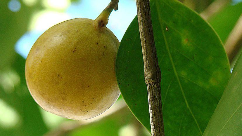 Manchineel tree