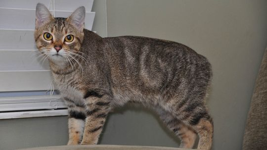 Why Don't Manx Cats Have Tails?