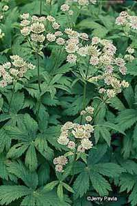 Masterwort is a pretty addition to a garden, but it also has medicinal properties.