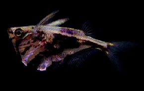 Marbled Hatchetfish -- carnegiella strigata