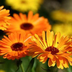 Marigolds thrive in the northeast. See more pictures of annuals.