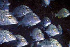 You can't tell from this picture, but gray snappers, even the youngsters, are quite the talkers.