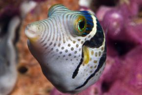 Scientists scooped up eight black-saddled puffer fish (like the ones pictured here) to examine the puffer fish's signature response more closely. It wasn't what we thought.