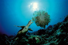Sure, sea turtles enjoy jellyfish, but what about seafloor scavengers?