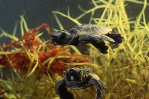 These loggerhead sea turtle hatchlings show off their strokes.