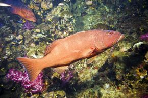 A coral trout hangs out near an artificial reef off the coast of Townsville, Queensland, Australia. Coral trout are on the rebound in the Great Barrier Reef, thanks to some no-take zones.