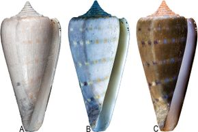 In this photo you can see how the shell looks under regular light (A), how it fluoresces under UV light (B) and how it looks when you digitally reverse the image of the fluorescing shell using photo editing software (C).