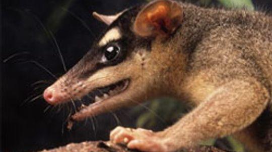 Marsupial Pictures
