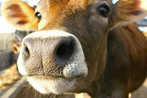 Will a steak taste as good if it comes from a lab as it does from a cow?