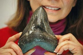 A fossilized megalodon tooth.