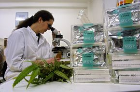An assistant studies marijuana leaves in the Maripharma Laboratory in Rotterdam, Netherlands.