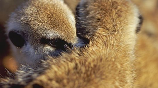 How do meerkat groups choose a dominant female?