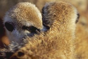"""Meerkats, shown from the second season of the Animal Planet series """"Meerkat Manor,"""" are a pretty cooperative species. This includes grooming one another. See more meerkat pictures."""