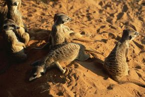 """In a meerkat gang, like the one shown from season two of Animal Planet's """"Meerkat Manor,"""" up to 80 percent of the offspring are produced by one female. The average dominant meerkat produces 74 pups in her lifetime."""