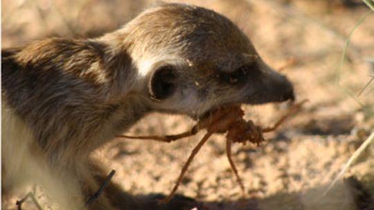 Are meerkats immune to poison?