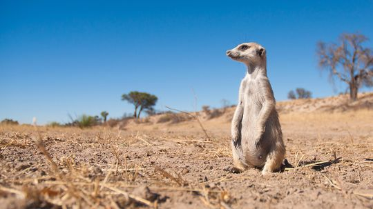 That Funky Meerkat Scent Comes From a Surprising Source