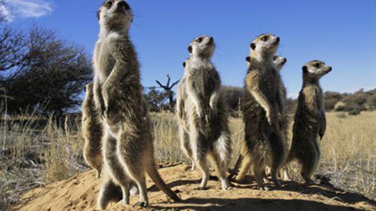 How Meerkats Work