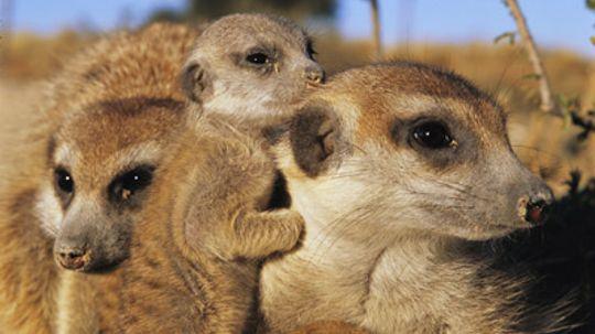 Are meerkats naturally generous?