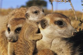 Meerkats are extremely social and practice cooperative breeding. Beta males and females pitch in to help tend the alpha couples' young.