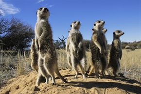 Meerkats stand guard as sentinels, on the lookout for danger.