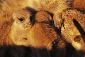 Two young meerkat pups nestle with an adult caregiver in the Kalahari Desert.
