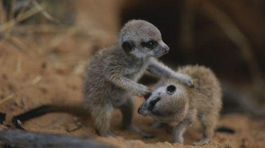 Why do meerkat pups play?