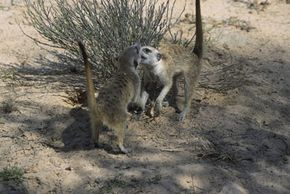 "Meerkats, like the ones shown on season two of Animal Planet's ""Meerkat Manor,"" may play to strengthen social bonds."